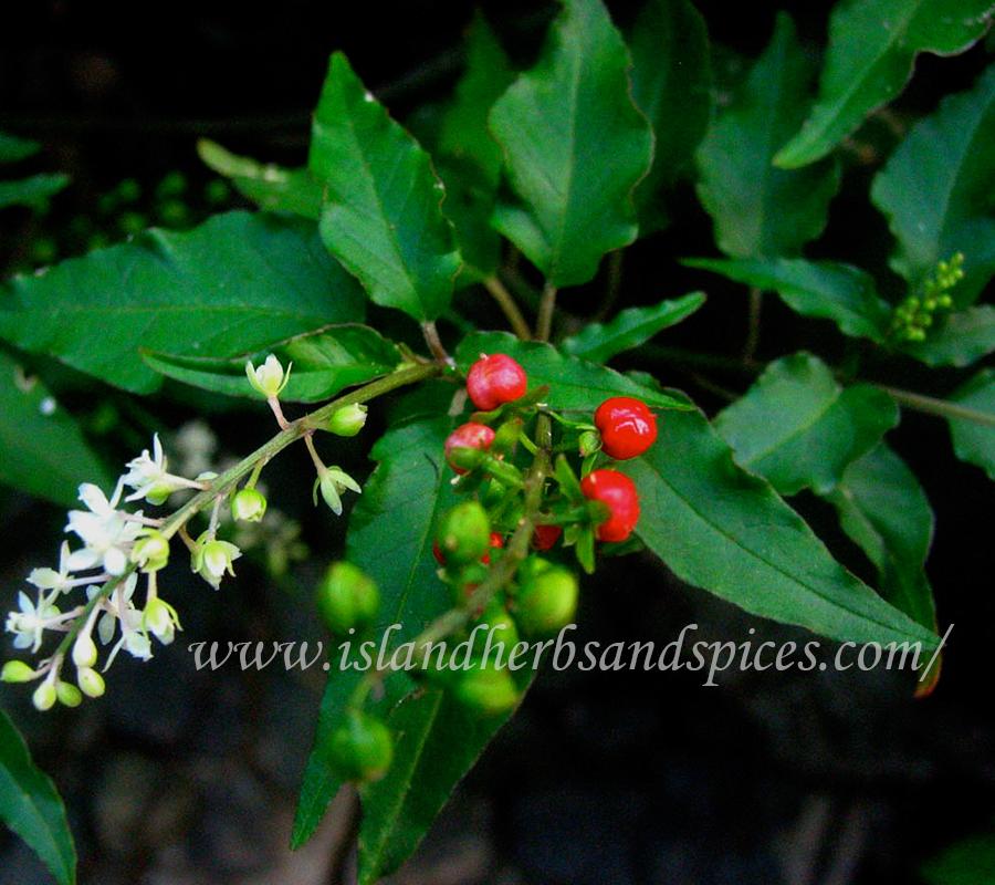 Dog blood bush (Rivina humilis)