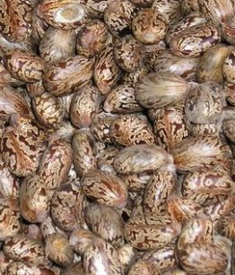 JAMAICAN-CASTOR_OIL_SEEDS-1