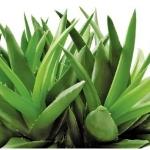 Jamaica-Aloe-Vera