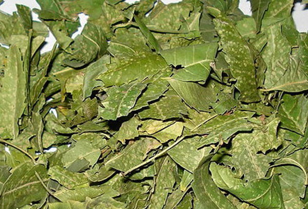 Neem Medical Herbal Plant Island Herbs Amp Spices