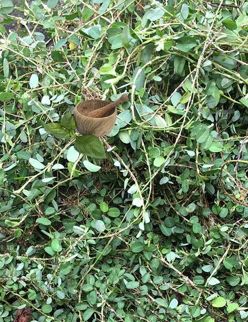 Medina Jamaican Herb (aphrodisiac)
