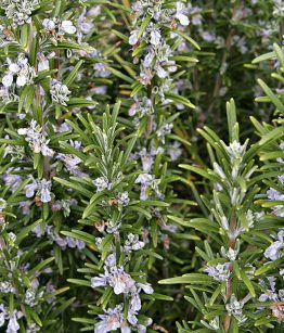 Rosemary Jamaican Herbs Island Herbs Spices