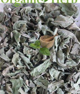 Hippobroma-longiflora-Madam-Fate-